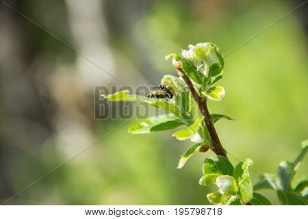 Two small insect-like spiders have sex on a branch with leaves