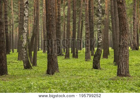 Background consisting of a number of trees in a park of pines and birches and green grass