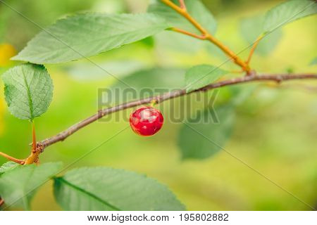 Ripe red cherry grows on a branch in the village