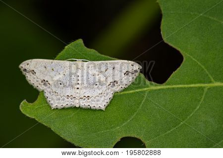 Image of Pointed Flatwing Butterfly(Moth) on green leaves. Insect Animal