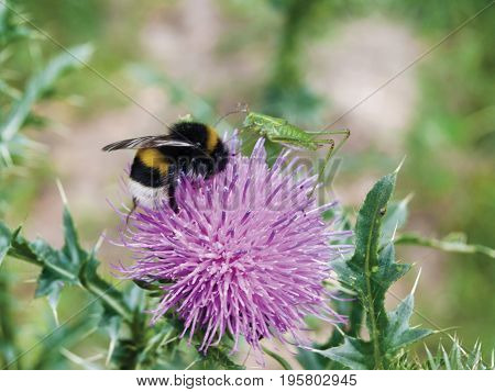 Bumblebee on a pink flower collects nectar
