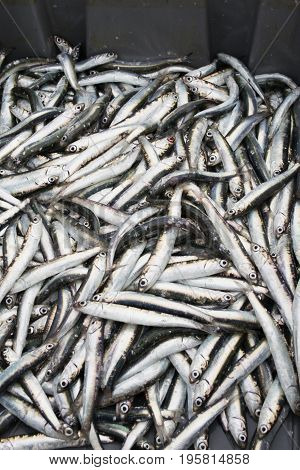 Fresh And Raw Sprats, Just Caught From The Sea. Close-up View Of A Heap Of Fresh Sprats. Pile Of Sma