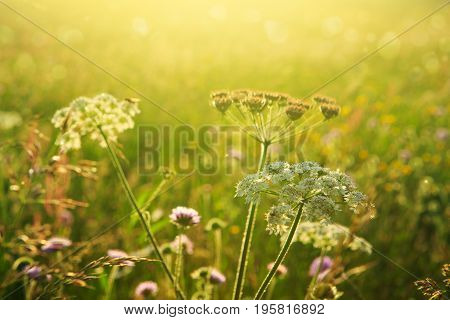 Purple scabious flowers growing in a natural setting with sunset.