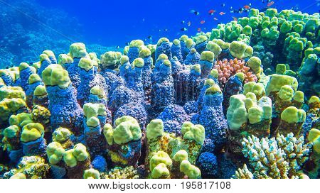 Hard corals and small fish in the Red Sea. Egypt.