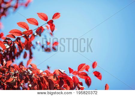 Bright red autumn leaves on a bright blue sky. Sunny pink foliage on a tree branch in a forest. Environment, nature, ecology concept. Healthy red leaves on a saturated blue background.