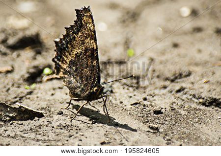 A butterfly wings closed on the bare ground on a sunny summer day