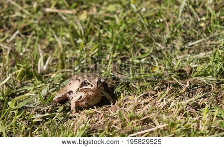 Beautiful pregnant frog in the grass in summer