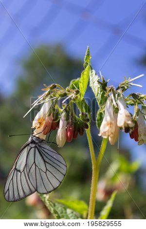 Butterfly cabbage on flower collects sweet nectar