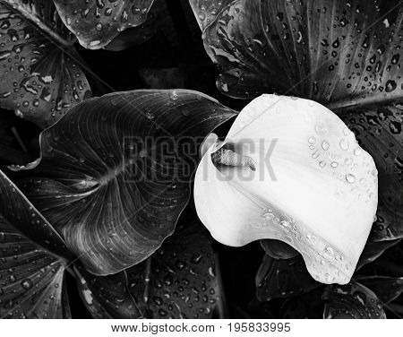 Detailed view of a flower Zantedeschia aethiopica with leaves