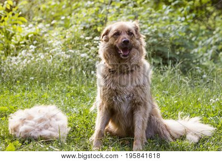 A big fluffy happy dog is sitting after shedding their wool outdoors