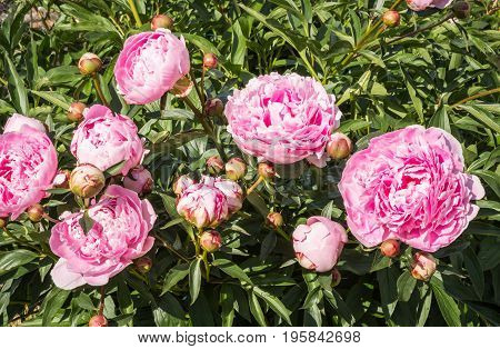 Pink peony flowers in a garden on a summer day