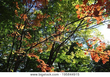 Colorful  leaves in Quebec Canada during indian summer