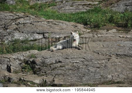 White wolf contemplating lying on a rock, Canada