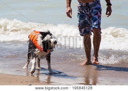A wet dog in a life jacket has just come out from a swim with his owner at the beach and he shakes off the water. Pinery provincial park in Ontario Canada
