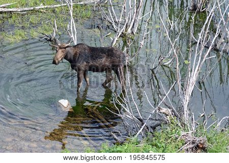 a young bull moose in the willows of a pond