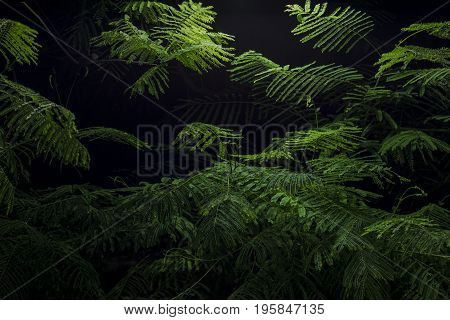 Mimosa tree lush green branches with fern like leaves lighted at night