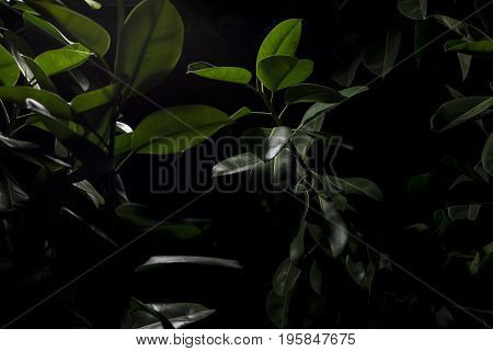 Plant with fleshy shiny thick dark green leaves under a street light at night