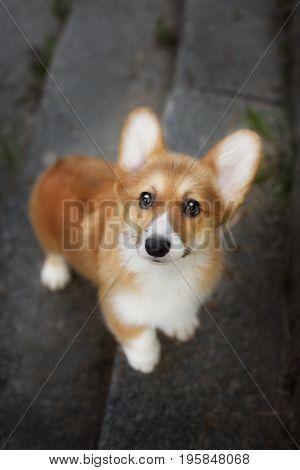 Dog Welsh Corgi looking up, portrait close up