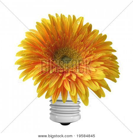 beautiful isolated yellow and orange gerber flower, isolated on white background