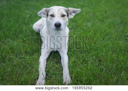 Outdoor portrait of cross-breed of hunting and northern dog lying on a green lawn