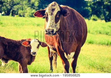 The Cow and Calf are in the field