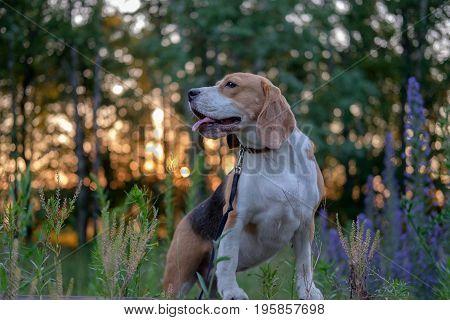 Dog portrait Beagle on a summer walk at sunset