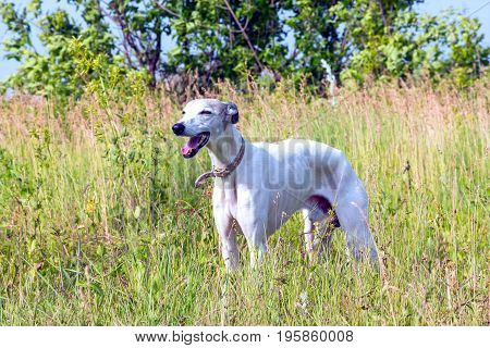 English greyhound standing in the grass on a green meadow