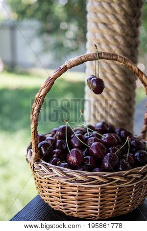 Closeup Of Cherries In A Basket. Basket With Picked Cherries