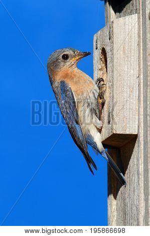 Female Eastern Bluebird (Sialia sialis) on a nest box