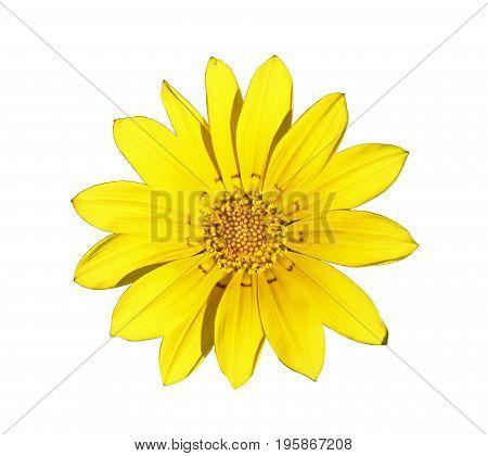 Flower of yellow gazania isolated on white closeup