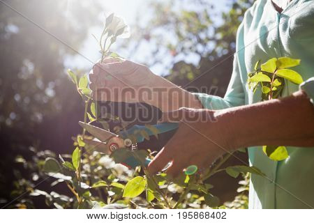 Midsection of senior woman cutting flower stem with pruning shears at backyard
