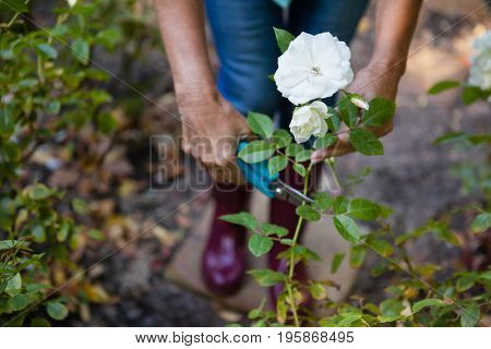 Low section of senior woman trimming white flower plant with pruning shears at backyard
