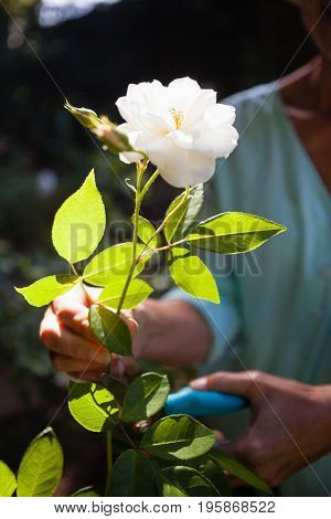 Midsection of senior woman cutting white flower stem with pruning shears at backyard
