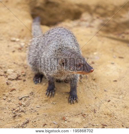 Banded Mongoose At The Tbilisi Zoo, Animal