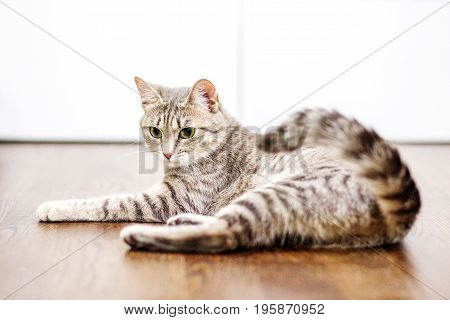 Gray striped cat lies at home. The concept of pets.