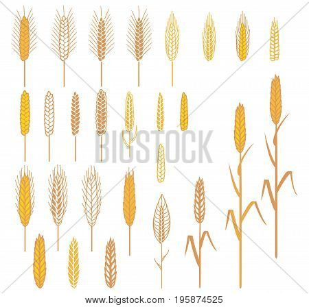 A set of different spikelets. Elements for design