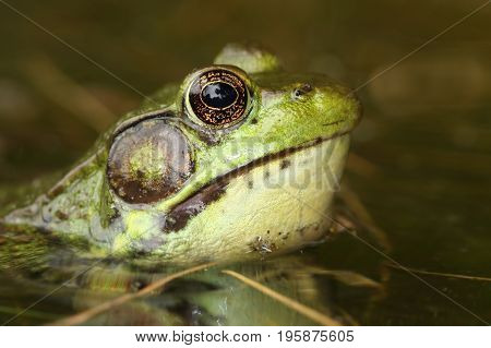 Close-up of a Green Frog (Rana clamitans) in a pond