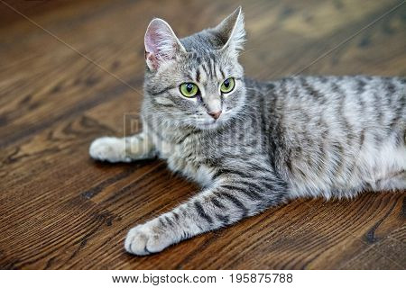 Gray striped cat lying on the floor. The concept of pets.
