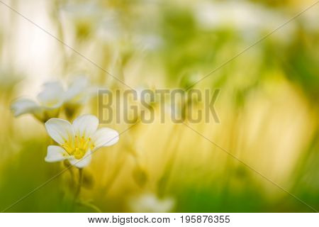 Small white flowers in the grass on a beautiful background.Selective soft focus