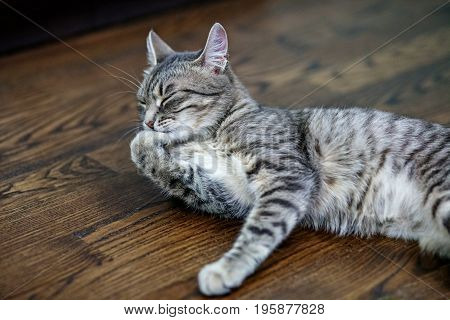 Gray striped cat sleeps on the floor. The concept of pets.