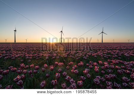 Modern windmills providing renewable energy for modern agriculture. A setting sun highlights the typical Dutch tulip fields.