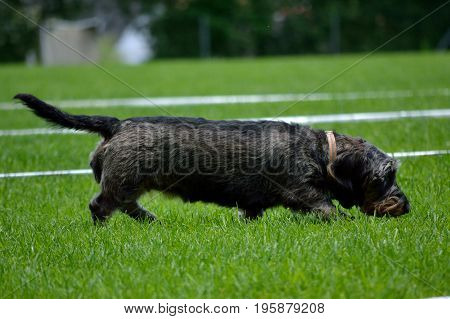 Black dachshund sniffing in the green meadow