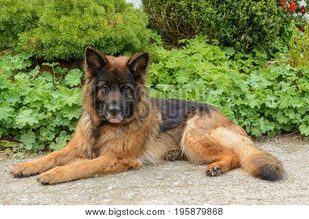 German shepherd dog lies neatly on the ground