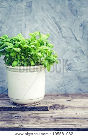 Basil herb in pot near plastered wall outdoor. Toned
