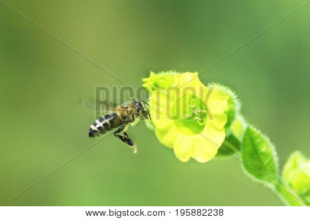 bee collects nectar from the flowers of blossoming tobacco