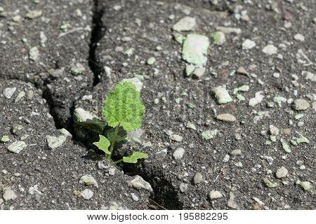Through a crack in the asphalt breaks and grows a sprout of grass with leaves. Asphalt grey with pebbles. A crack in the asphalt on the road or the sidewalk.