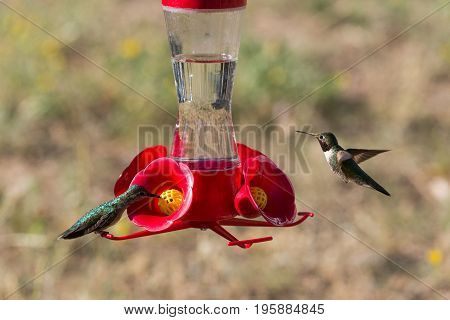 Female and Male Ruby-throated Hummingbirds (archilochus colubris) sipping from a hummingbird feeder in the Rocky Mountains