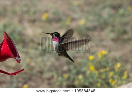 Male Ruby-throated Hummingbird (archilochus colubris) searching for nectar in the Rocky Mountains