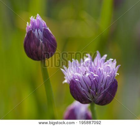 Close up of garlic flowers in a garden