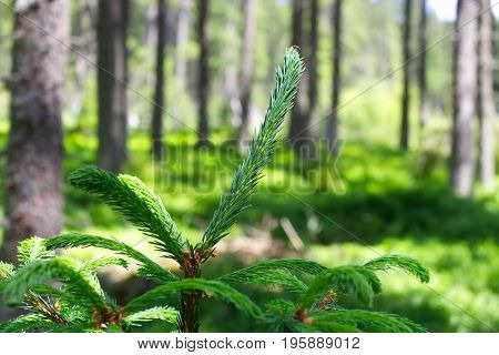 Photography of european forest with spruce twig in the foreground. Nice image with trees.